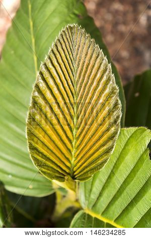 Green Leaf Texture, Norther Of Thailand. (dipterocarpus Alatus)