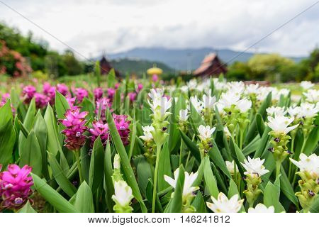 Pink and white Siam tulip flower (Curcuma alismatifolia) blossom with sky and mountain background.