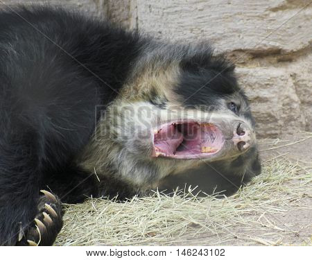 A Sleepy Spectacled or Andean Bear Yawns Before a Nap