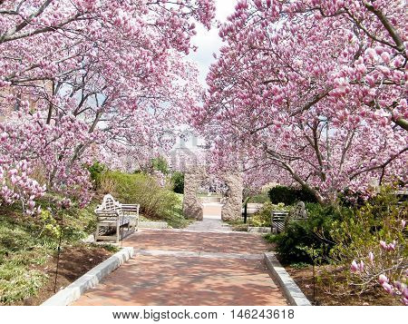 Pink Magnolia Blossoms in garden of Smithsonian in Washington DC USA