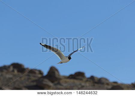 Flying Gull, Black headed Gull flying under a blue sky at Geyser del Tatio, Chile - Chroicocephalus ridibundus