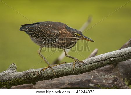 A Green Heron carefully makes its way down a fallen limb as it watches the water below for its next meal.