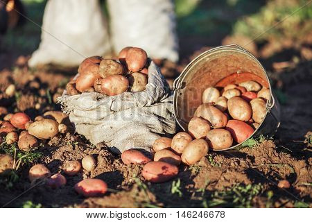 The Potato Harvest.