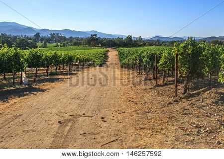 Vineyard in Napa Valley, San Francisco Bay Area in northern California. Napa Valley is the main wine growing region of the United States and one of the major wine regions of the world.