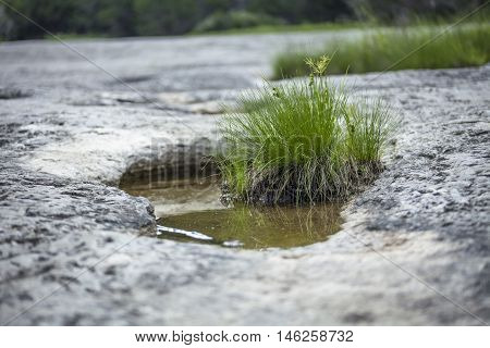 Heat tolerant plant grows in shallow water set in crater of rock face.