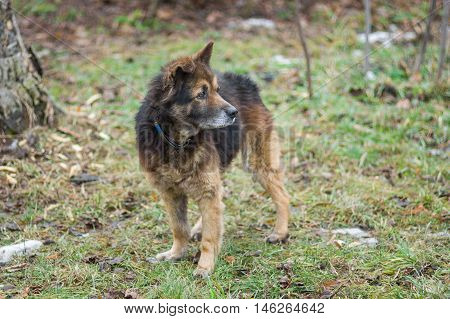 Portrait of adorable cross-breed dog guarding and looking into the distance.