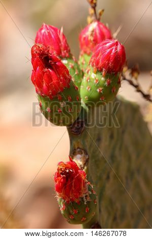 Cactus blossom on prickly pear in the caating