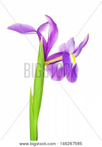 beautiful purple flower iris, isolated on white