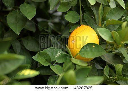 An Orange tree with an unripe oranges