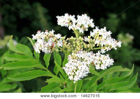 Eder Flower