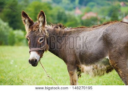 Cute donkey on the green meadow in montenegro
