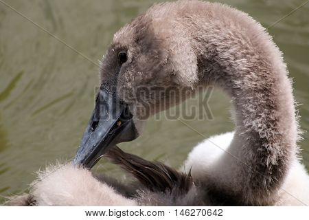 A young Mute Swan cygnet preening it's fluffy down