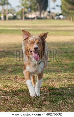 Red Merle Australian Shepard running with big smile at park.