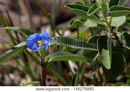 Blue flower in the Caatinga in Brazil