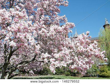 Pink Magnolia Blossoms near Smithsonian in Washington DC USA