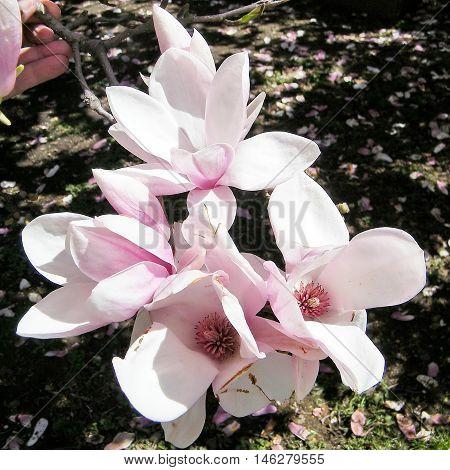 Branch of Magnolia Blossoms near Smithsonian in Washington DC USA