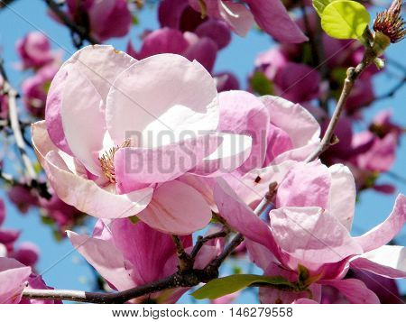 Beautiful Magnolia flowers in spring in Washington DC USA