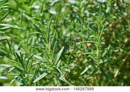 Fresh rosemary herb growing in a garden (Rosmarinus officinalis)