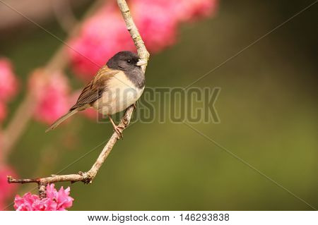 A Dark-Eyed Junco Perched In A Peach Tree During Spring In California.