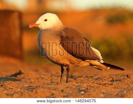 A Heerman's Gull resting on a beach during sunset in central California.