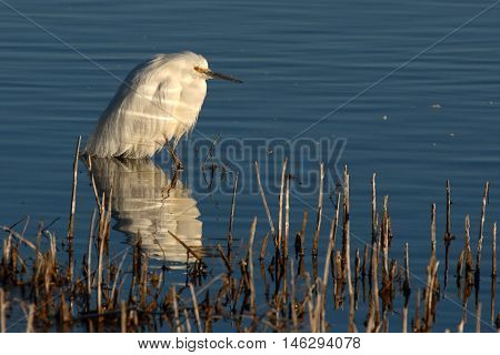 A Snowy Egret Pausing On The Edge Of A Lake In Southern New Mexico.