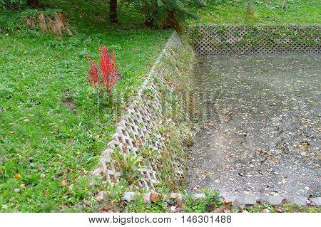single Berberis thunbergii beside the contaminated pond
