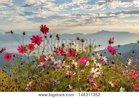 Beautiful mountain Doi Luang Chiang Dao in the foreground blooming wildflowers at sunrise Chiang Mai Province Thailand
