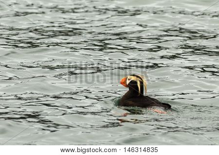 Tufted puffin swim in the waters of the Pacific Ocean.