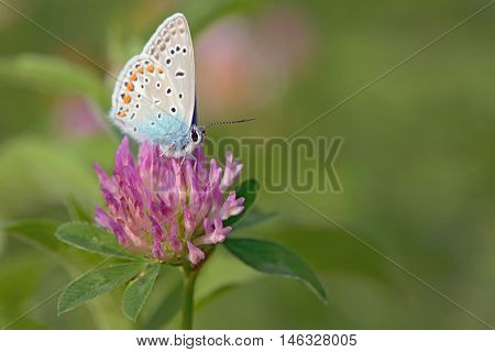 Common Blue (Polyomathus icarus) butterfly
