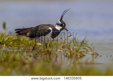 Crested Male Northern Lapwing