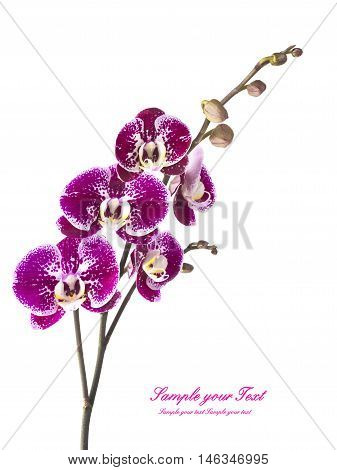 Orchid. Orchid flowers. Beautiful orchid flowers isolated on white.(selective focus)