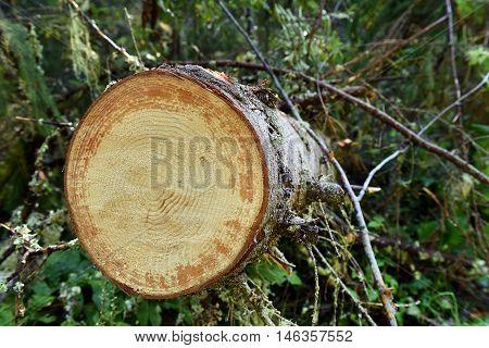 Environmetal Concept, Illegal Deforestation. Freshly Cut Pine Tree Log
