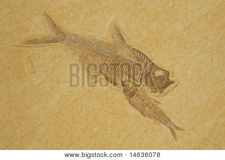 Fossil skeletons Fishes