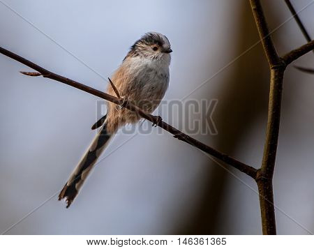 Long Tailed Tit Perched On A Branch