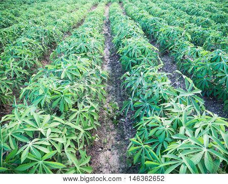Cassava little farm agriculture view green day