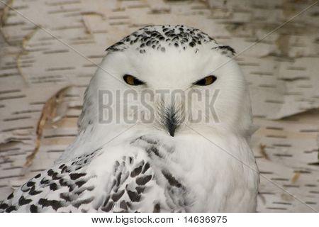 Snowy Owl (Bubo scandiacus) poster
