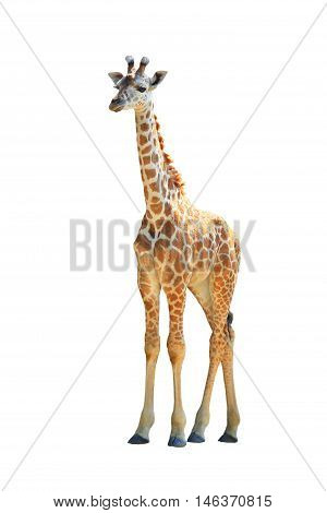 the a Giraffe isolated on white background