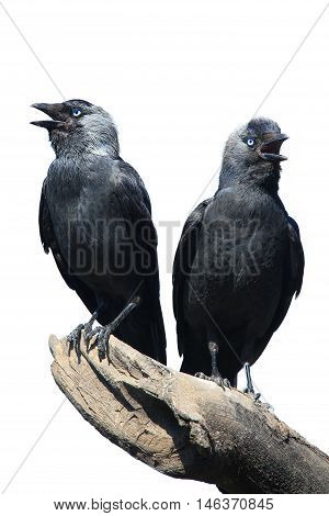 TwoWild Jackdaw - Corvus monedula on a white background