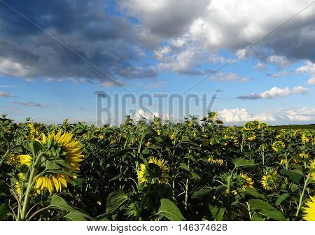 Open sunflowers on the field under cloudy sky stock photo