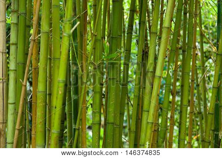 Bamboo grass stalk plants stems growing in dense forest like grove as a relaxing and peaceful green background