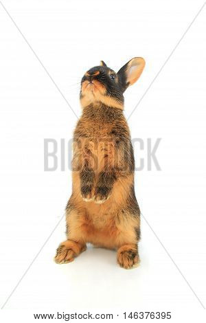 rabbit costs on hinder legs, studio shot