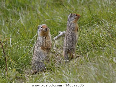 A pair of Columbian Ground Squirrels (Urocitellus columbianus) scan their surroundings for signs of danger - Banff National Park Alberta Canada