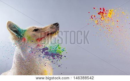 The White Swiss Shepherd dog in a studio covered with color powder.