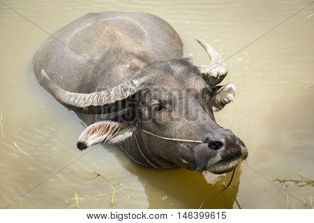 the big black buffalo on water buffalothe big buffalo water buffalo