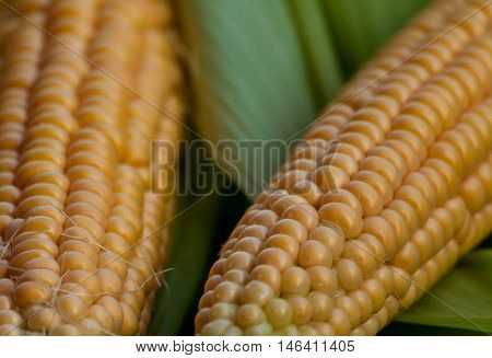 two pieces crude yellow corn with green leaves and hair lies on several closed cob, not cleared, natural look, vegetables