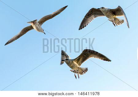 Seagull against sky. Flying birds. European herring gull. Larus argentatus