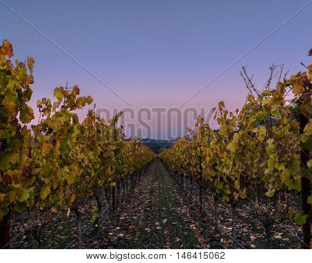 Napa Valley vineyard row in autumn at sunset with clear sky. Colorful grape vines at harvest. Napa wine country. Blue and pink sky at dusk.