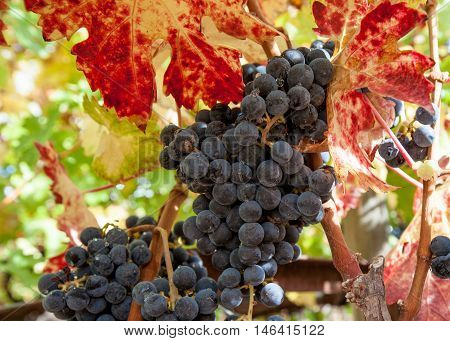 Closeup of California wine grapes and leaves in autumn at harvest. Raindrops on ripe grapes. Bright red, yellow, green leaves in fall.