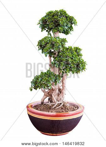 Beautiful and artistic dwarf tree or a miniature bonsai tree in a ceramic pot isolated on white background.with clipping path.