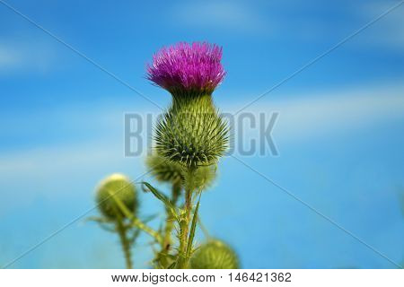 Thistle in a blue sky.  Thistle flowers are favourite nectar sources of the pearl-bordered fritillary, small pearl-bordered fritillary, high brown fritillary, and dark green fritillary butterflies.
